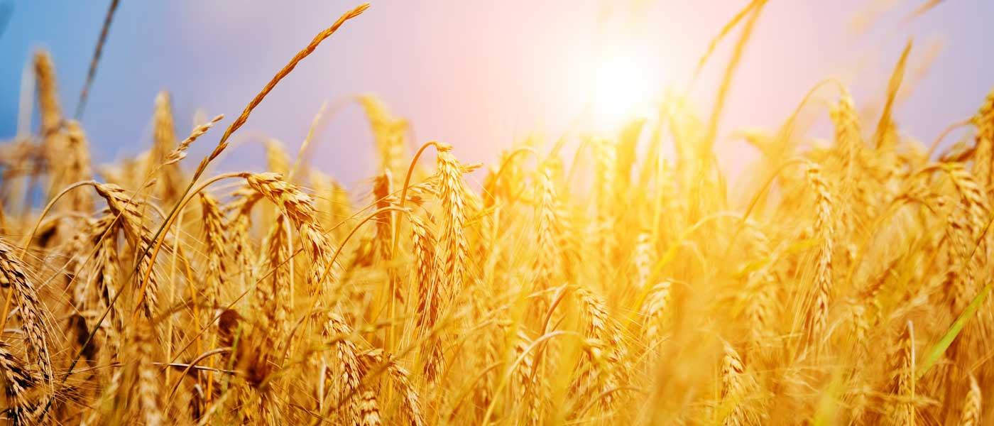 Photo of a wheat field. Close up view